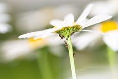 Ameisen, die auf Blatthonig von den Blattläuse auf einem Gänseblümchen einziehen Stockbild