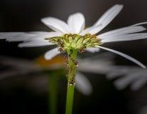 Ameisen, die auf Blatthonig von den Blattläuse auf einem Gänseblümchen einziehen Stockfotografie