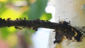 Ameisen, die auf den Baum gehen stock footage