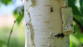 Ameisen, die auf den Baum gehen stock video