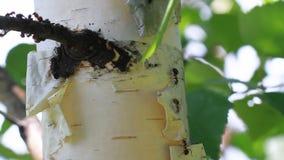 Ameisen, die auf den Baum gehen stock video footage