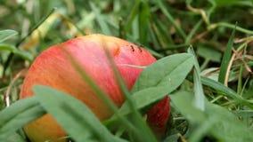 Ameisen, die auf einem roten Apfel durchstreifen stock footage