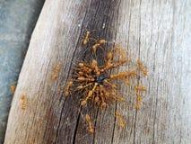 Ameisen, die auf hölzernem herumsuchen Stockfotos