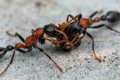 Ameisen, die auf Nektar einziehen Lizenzfreies Stockbild