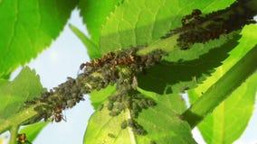 Ameisen, die Blattläuse bewirtschaften stock footage