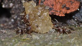 Ameisen, die Daten und Zucker essen lizenzfreie stockfotos