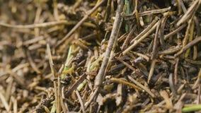Ameisen, die in den Ameisenhaufen kriechen Makro Ameisen auf einem Ameisenhaufen Großer Ameisenhügel auf einem Gebiet des braunen stock footage