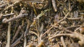 Ameisen, die in den Ameisenhaufen kriechen Makro Ameisen auf einem Ameisenhaufen Großer Ameisenhügel auf einem Gebiet des braunen stock video footage