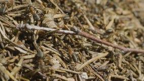 Ameisen, die in den Ameisenhaufen kriechen Makro Ameisen auf einem Ameisenhaufen Großer Ameisenhügel auf einem Gebiet des braunen stock video