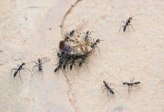 Ameisen, die eine Schabe transportieren. Stockfotos