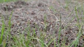 Ameisen, die in einen Ameisenhaufen über einer hellen hölzernen Beschaffenheit kriechen stock footage