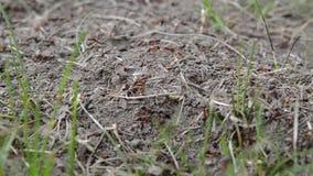 Ameisen, die in einen Ameisenhaufen über einer hellen hölzernen Beschaffenheit kriechen stock video footage
