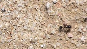Ameisen, die in Folge gehen stock video footage