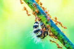 Ameisen, die im Team arbeiten Lizenzfreie Stockfotos
