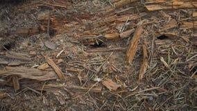 Ameisen, die innerhalb des alten hölzernen Klotzes leben stock footage
