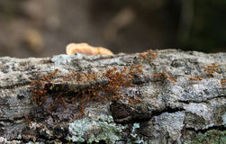 Ameisen, die Opfer tragen Stockbild