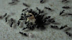 Ameisen, die sich nah oben bewegen stock footage