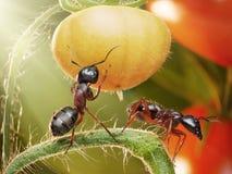 Ameisen, die Tomaten in der Hintergrundbeleuchtung überprüfen Stockfoto