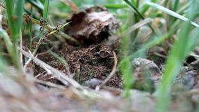 Ameisen, die um einen Ameisenhaufen durchstreifen stock video