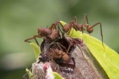 Ameisen, die wenig Blumenwanze schneiden Stockfotografie