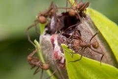 Ameisen, die wenig Blumenwanze schneiden Stockfoto