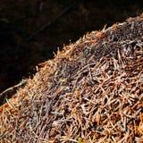 Ameisen in einem Kiefernwald Lizenzfreies Stockfoto