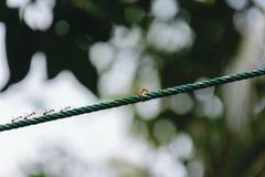Ameisen kämpfen auf den Seilen Stockbilder