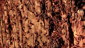Ameisen leben in einem alten Birkenstumpf stock footage