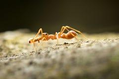 Ameisen-mimische Spinne in Thailand und in Südostasien Lizenzfreies Stockfoto