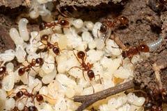 Ameisen mit Eiern Lizenzfreie Stockfotografie
