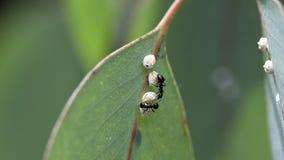 Ameisen mit Kokons Stockfoto