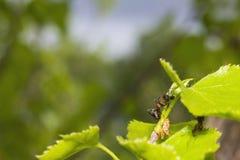 Ameisen - Saublattläuse Stockbilder