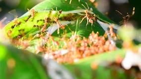 Ameisen sind Untersuchung auf Mangoblättern stock footage