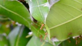 Ameisen sind Untersuchung auf Mangoblättern Kein Ton stock video footage