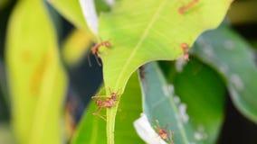 Ameisen sind Untersuchung auf Mangoblättern Kein Ton stock video