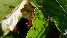 Ameisen sind Untersuchung auf Mangoblättern Kein Ton stock footage