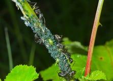 Ameisen und Blattläuse 1 Lizenzfreie Stockbilder