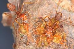 Ameisen und Blattläuse Stockfotos