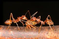 Ameisen und Blattläuse Lizenzfreie Stockfotos