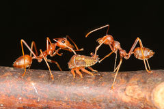 Ameisen und Blattläuse Lizenzfreie Stockbilder