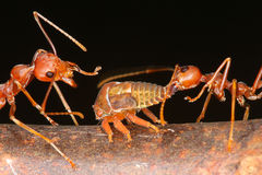 Ameisen und Blattläuse Stockfotografie