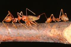 Ameisen und Blattläuse Lizenzfreies Stockfoto
