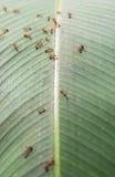 Ameisen und Blattlaus stockfoto