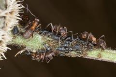 Ameisen und Blattläuse Stockbild