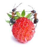 Ameisen und Erdbeere Stockbild