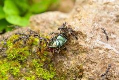 Ameisen und ihr Abbruch Stockbilder