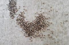 Ameisen verschieben die Eier, die Larven und das Lebensmittel der Kolonie auf ein neues Nest Stockbild