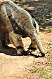 Ameisenbär, Phoenix-Zoo, Arizona-Mitte für Erhaltung der Natur, gelegen in Phoenix, Arizona, Vereinigte Staaten lizenzfreie stockbilder
