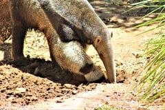 Ameisenbär, Phoenix-Zoo, Arizona-Mitte für Erhaltung der Natur, gelegen in Phoenix, Arizona, Vereinigte Staaten lizenzfreies stockfoto