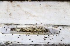 Ameisengiftfalle gefüllt mit den Ameisen - tot und lebendig - Sitzen auf altem Holz - flacher Fokus stockfotos